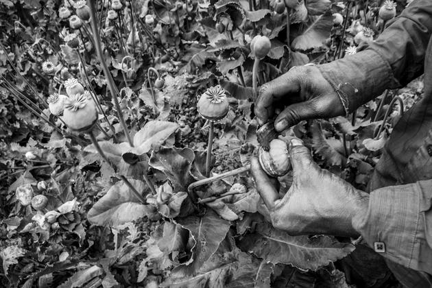 Extracción de la goma de opio en un campo en la sierra de Chihuahua. Crédito: Arthur Debruyne/Pie de Página