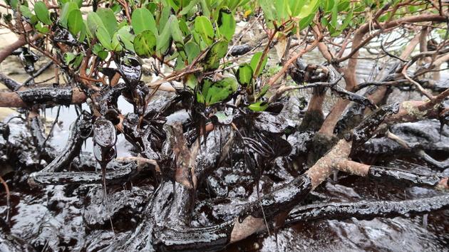 Una capa de chapapote sofoca la vegetación de un manglar en Pernambuco, el estado del Nordeste de Brasil más afectado por la llegada a las costas atlánticas de Brasil de un enorme derrame de petróleo de origen sin identificar. El desastre se hizo visible el 30 de agosto contaminando las playas, perjudicando gravemente a los pescadores y dañando estuarios, manglares y arrecifes, cunas de fauna. Crédito: Cortesía de Clemente Coelho Junior