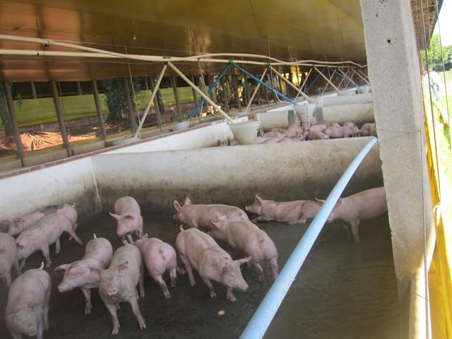 La producción de biogás con los excrementos de cerdos, como los de la finca de Ademir Escher, tiene un nuevo negocio con gran potencial en el oeste del estado de Paraná, en el sur de Brasil, que concentra más de cuatro millones de estos mamíferos. El biocombustible elimina, además, los residuos que contaminan los ríos locales y sedimentan el embalse de Itaipú, la gigantesca central hidroeléctrica compartida por Brasil y Paraguay. Crédito: Mario Osava/IPS