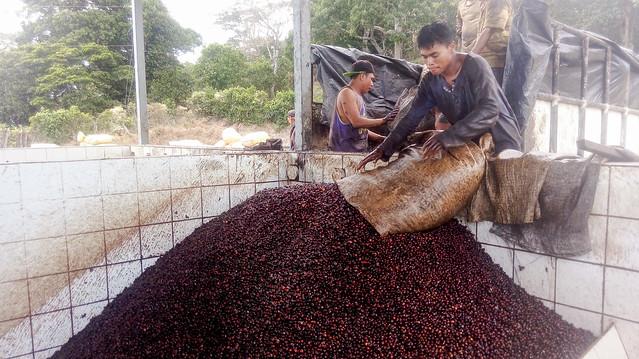 La mayoría de caficultores pequeños y medianos venden su café a los beneficiadores, encargados de procesar el grano uva, como se denomina al fresco por su color, una tarea que sí realiza la finca Los Pirineos, en el municipio de Berlín, en el este de El Salvador. Foto: Edgardo Ayala/IPS