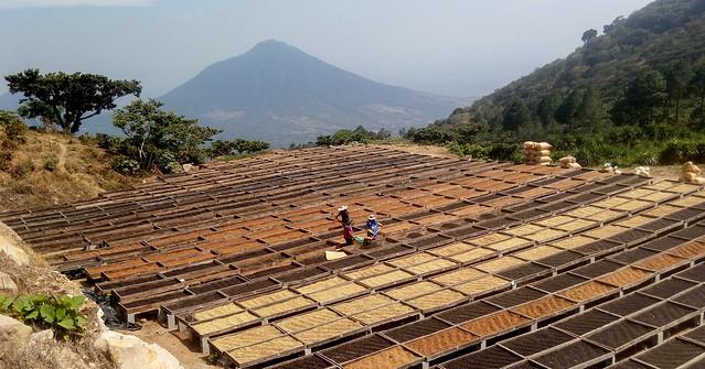 """El secado en las llamadas """"camas africanas"""" es una de las novedades aprendidas por un grupo de caficultores familiares de El Salvador, que participan en una iniciativa para convertir su cultivo en agroecológico y producir así un grano de café orgánico y de calidad gourmet. Ellos observaron el sistema en Los Pirineos, una propiedad modelo de cómo producir ese café muy bien pagado en el mercado mundial. Foto: Edgardo Ayala/IPS"""