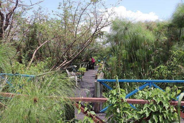 La pasarela de 50 metros en el humedal de la playa de Dunga, en el golfo Winam, en el lago Victoria, en Kenia, que se erige entre un bosque de largos juncos de papiro, característicos del área. Esta es una de las iniciativas con que un Grupo Juvenil de Ecoturismo para rescatar de la contaminación esta parte del segundo lago de agua dulce del mundo. Crédito: Isaiah Esipisu / IPS