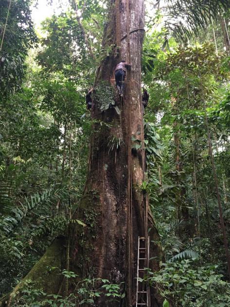 Medición de una Ceiba gigante en la selva tropical del Chocó, Colombia. Foto: Pauline Kindler/SciDev