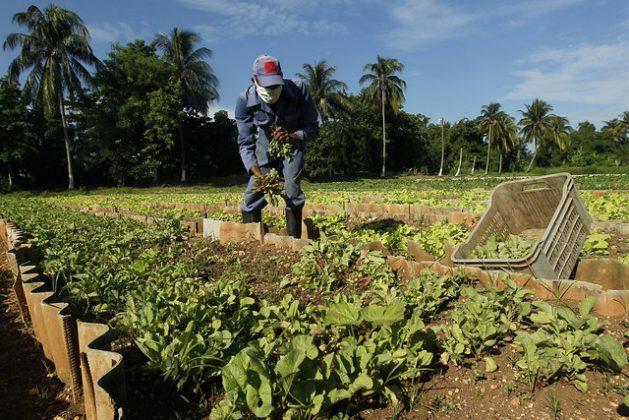 Arnoldo Piró, de 48 años, recolecta rábanos en los canteros de una parcela de cultivos organopónicos en el municipio del Cerro, en La Habana. Las remesas podrían apuntalar la recuperación de la agricultura en Cuba y consolidar su sostenibilidad. Foto: Jorge Luis Baños/IPS