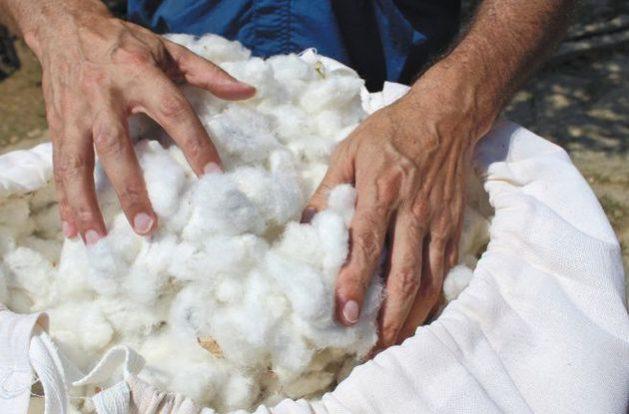 Colombia retomó en la Sierra Nevada de Santa Marta, con cuidados orgánicos, la producción del algodón que cultivaban los indígenas desde mucho antes de la llegada de Cristóbal Colón al continente. Se espera que la fibra ecológica alimente la confección de una nueva marca de ropa colombiana. Foto: FAO