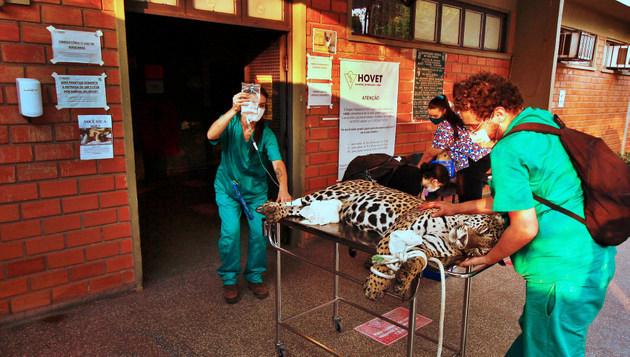 Un jaguar brasileño (Panthera onca) es atendido tras ser rescatado en un incendio en el Pantanal, que sufre este año la mayor cantidad de focos de fuego en los últimos 47 años. La fauna numerosa y diversa del Pantanal es la principal víctima del desastre ambiental, ya que no tiene como sobrevivir mientras la vegetación se regenera. Foto: Willian Gomes/ Secomm UFMT-Fotos Públicas