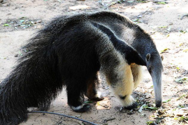 Los osos hormigueros son una de las especies que forma parte de la pérdida masiva de especies por 50 años.