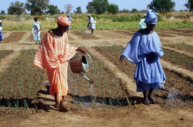 Mujeres agricultoras riegan cultivos de cebollas y otras hortalizas. Ellas participan en un programa especial para mejorar la seguridad alimentaria de Senegal. Foto: FAO