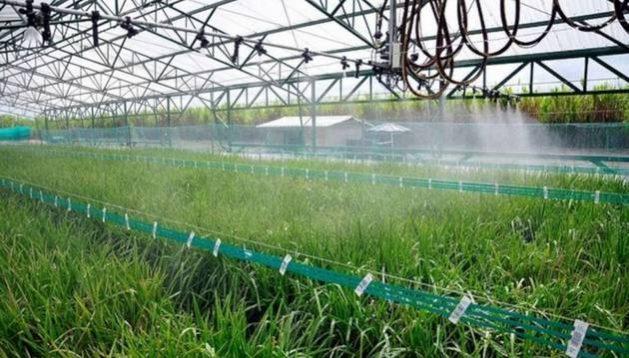 Un campo de arroz siendo regado muestra la efectividad de la Tecnología de riegos alternados.