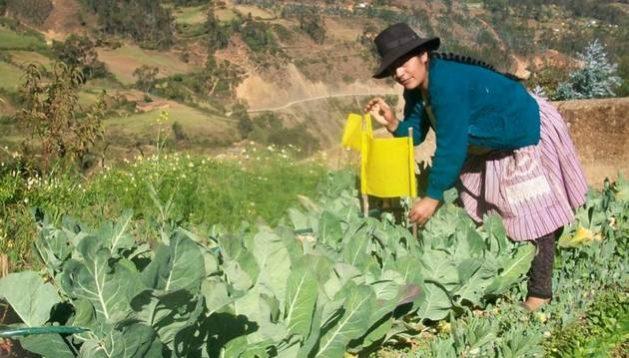 La agricultura y los alimentos transgénicos en Perú.