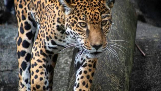 El jaguar es el felino más grande de América, alcanzando hasta más de 100 kg y 1,80 metros de ancho. Foto: Joshua J. Cotten/Unsplash, bajo dominio público
