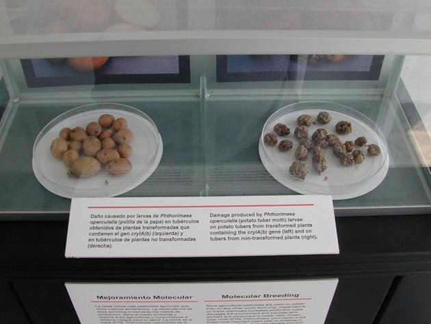 Exhibición de papas modificadas genéticamente contra la polilla de la papa (Izq.) y daño causado por ese insecto en papas sin modificación. Foto: Zoraida Portillo/SciDevNet