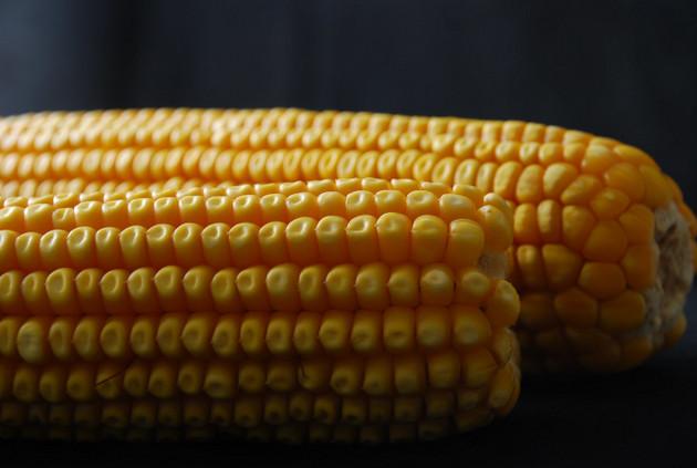 La polinización cruzada que puede ocurrir entre maíz transgénico y maíz con mejoramiento convencional no causa daño al ambiente o la biodiversidad de acuerdo a la evidencia científica. Foto: Xochiquetzal Fonseca/ CIMMYT
