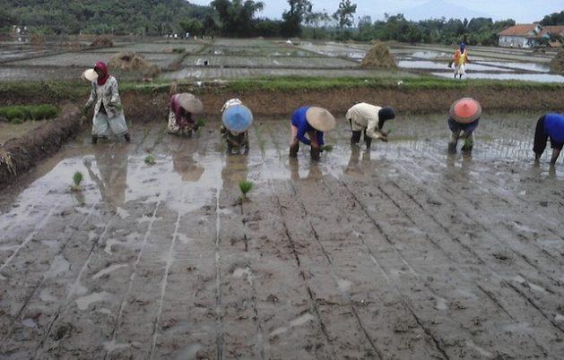 Agricultores de la provincia de Java Occidental de Indonesia. El sector agrícola de este país del sudeste asiático enfrenta a dos problemas importantes: la disminución del número de agricultores y de los campos irrigados de arroz. Foto: Kanis Dursin/IPS