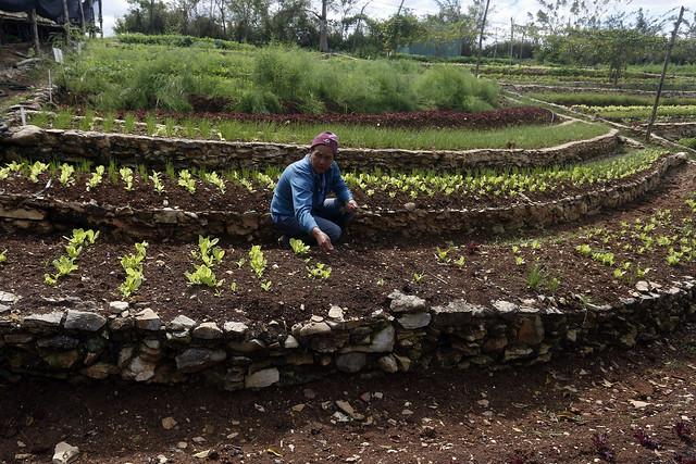 Una mujer siembra hortalizas en una de las terrazas de la Finca Marta, que desarrolla una agricultura ecológica después de domar con soluciones sostenibles una tierra hostil, en el municipio de Caimito, en la provincia cubana de Artemisa. Foto: Jorge Luis Baños/IPS