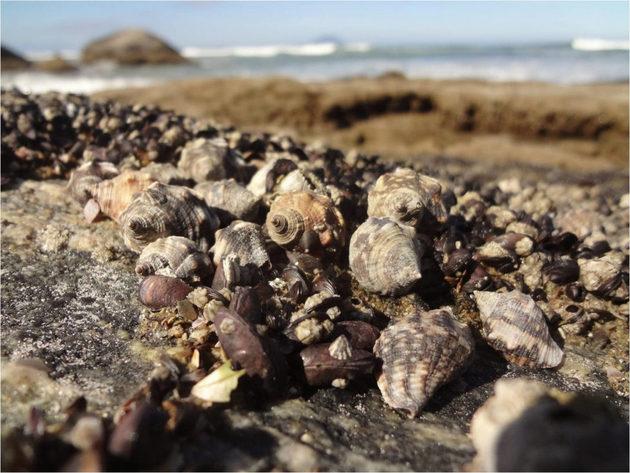 El estudio detectó presencia de tributil estaño en algunas muestras de Stramonita brasiliensis, molusco usado para consumo humano en Brasil. Foto: Cortesía de Fabiano Bender
