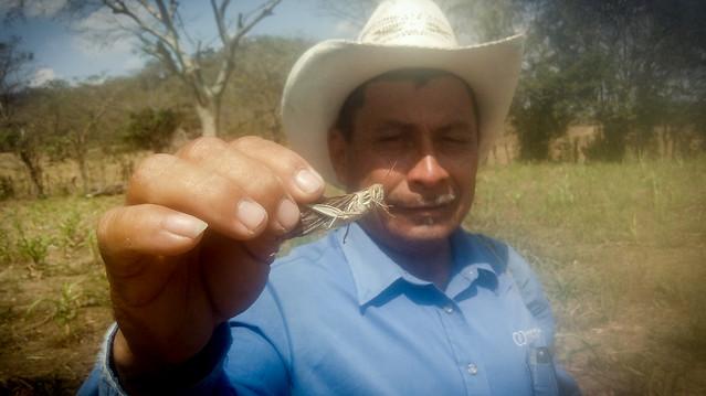 El agricultor Manuel Mancía muestra una langosta voladora capturada en la cooperativa Los Chilamates, localizada en el caserío del mismo nombre, en el municipio de Nueva Concepción, del departamento de Chalatenango. Los focos de ese insecto, aunque leves en El Salvador, mantienen en alerta a productores y autoridades nacionales, así como de Guatemala y el sur de México, donde el brote es más severo. Foto: Edgardo Ayala / IPS