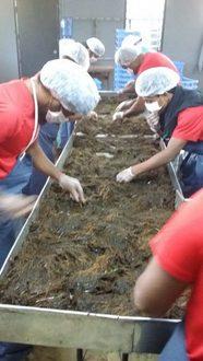 Trabajadores de la empresa South Pacific Mozuku limpian algas en sus instalaciones, en Nuku'alofa, la capital de Tonga. Foto: Cortesía de SPM