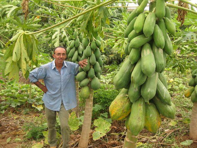 Un agricultor familiar entre las plantas de papaya que cultiva en su finca, donde cuenta con una presa subterránea, una de las formas de acopio de agua de lluvia en la ecorregión del Semiárido, en la región del Nordeste de Brasil. La agricultura familiar ha sido golpeada en el país por las medidas en su contra del gobierno de Jair Bolsonaro y el impacto de la covid-19. Foto: Mario Osava / IPS