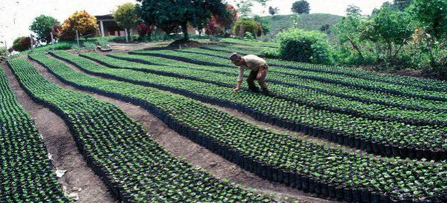 Plantación de café, producto tradicional en los sistemas agroalimentarios y agroexportadores de América Latina, para los que la FAO requiere innovación y transformación a fin de incrementar su productividad y sostenibilidad. Foto: FAO
