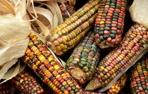 """""""Sin maíz no hay país"""", es un lema de las organizaciones mexicanas que se oponen al uso del glifosato en México. Foto: Ulrike Leone / Pixabay"""